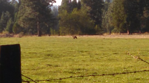 bear in the field