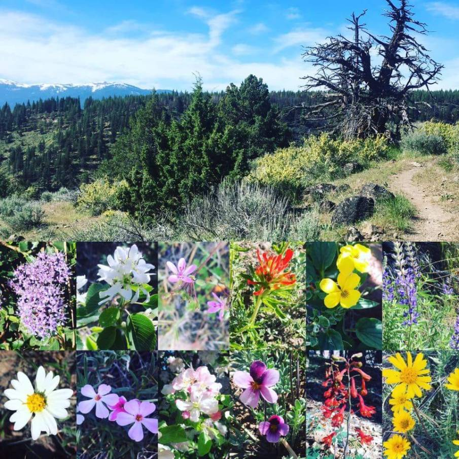 Paiute Meadows Wildflowers