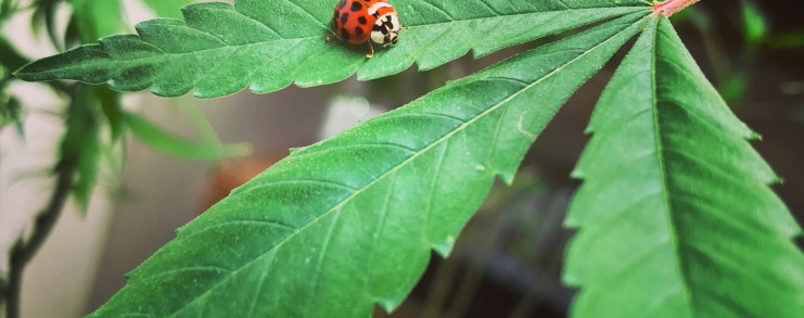 Pot leaf with a ladybug on it