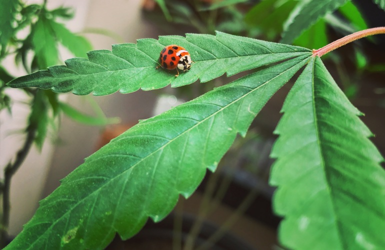 Pot leaf with a ladybug on it
